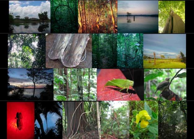 amazon rainforest plants collage. mamori amazon rainforest plants collage